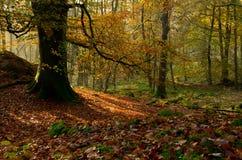 De herfst in het hout Royalty-vrije Stock Foto's