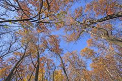 In de herfst het kijken omhoog in Reuzen stock afbeeldingen