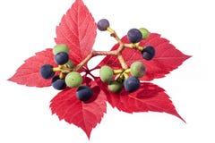 De herfst kleurrijke bladeren van parthenocissus met groene en donkere bl Stock Afbeeldingen