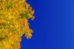 De herfst kleurrijke gele eiken bladeren Royalty-vrije Stock Foto's