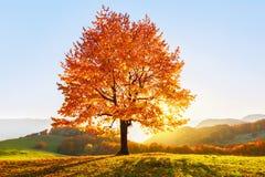 De herfst landelijk landschap met bergen, bossen en gebieden Er is een eenzame weelderige die boom op het gazon met oranje blader royalty-vrije stock foto's