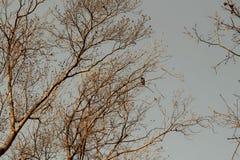 De herfst, lange naakte bomen van gouden kleur en sombere grijze hemel, zit een eenzame ekster op de bovenkant van de boom stock afbeelding