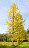 De herfst, lariksweg Royalty-vrije Stock Foto