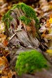 De herfst met mos op een hout en bladeren stock afbeelding