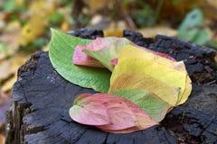 De herfst Multi-colored bladeren op een stomp Stock Afbeelding
