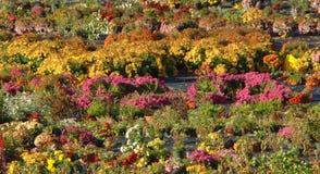 De herfst Mums voor Verkoop Stock Foto