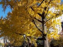 De herfst in New York met Gele Bomen Royalty-vrije Stock Fotografie