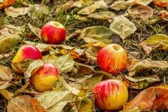 De herfst Rijpe rood-gele appelen die op de herfstbladeren liggen Royalty-vrije Stock Foto