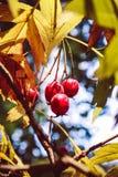 De herfst rode bessen Autumn Time royalty-vrije stock afbeelding