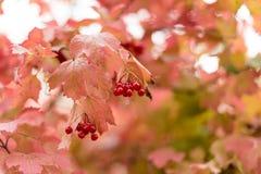 De herfst rode bessen van een viburnum op een tak Druiven van bessen Stock Foto's