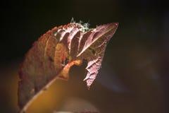 De herfst rode bladeren, onvolledige bladeren, zonsondergang en bladeren stock foto's