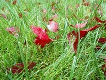De herfst rode bladeren op groen gras, macroclose-up Royalty-vrije Stock Afbeeldingen