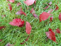 De herfst rode bladeren op groen gras, macroclose-up Royalty-vrije Stock Afbeelding
