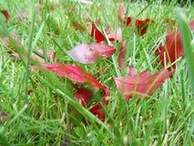 De herfst rode bladeren op groen gras, macroclose-up Royalty-vrije Stock Foto