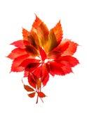 De herfst rode en gele bladeren die op witte achtergrond worden geïsoleerd Stock Foto