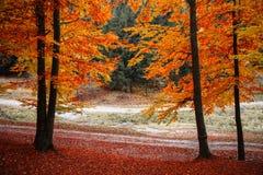 De herfst rode gekleurde bomen en gevallen bladeren royalty-vrije stock afbeelding