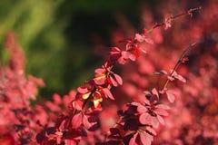 De herfst rode struik Stock Afbeeldingen