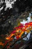 De herfst rood blad Royalty-vrije Stock Foto