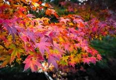 De herfst rood blad Royalty-vrije Stock Afbeeldingen