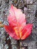 De herfst Rood blad op de boom Stock Foto
