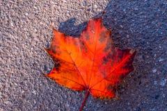 De herfst rood blad royalty-vrije stock foto's