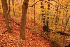 De herfst schildert de bosvloer in een overzees van verblindende sinaasappel. Stock Foto
