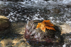 De herfst Sycomoorblad op de steen in stroom stock afbeelding