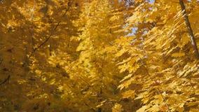 De herfst Takken van esdoorn in gele bladeren Op een geel achtergrond de herfstbos stock footage