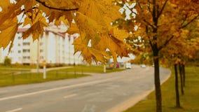 De herfst timelapse van mapplebomen en bladeren dichtbij stadsweg, daling in de stad in oktober stock video