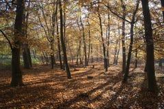 De herfst in Tunstall Bos, Suffolk, Engeland Royalty-vrije Stock Foto's