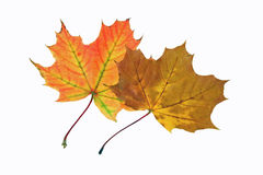 De herfst twee bladeren Stock Foto