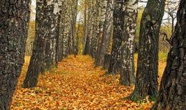 De herfst van de berk. Stock Afbeelding