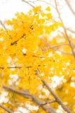 De Herfst van Ginkgobomen Royalty-vrije Stock Afbeelding