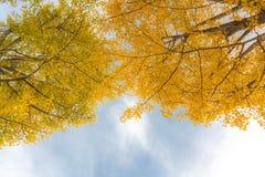 De Herfst van Ginkgobomen Royalty-vrije Stock Afbeeldingen
