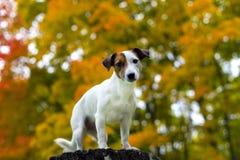 De herfst van de hond Stock Afbeeldingen