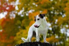 De herfst van de hond Royalty-vrije Stock Fotografie