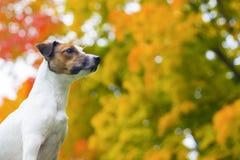 De herfst van de hond Stock Fotografie