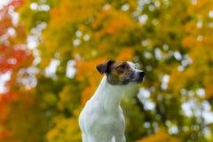 De herfst van de hond Stock Foto