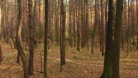 De herfst vergankelijk bos op duidelijke dag stock videobeelden