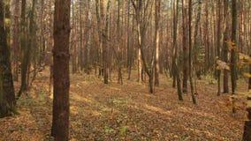 De herfst vergankelijk bos op duidelijke dag stock video