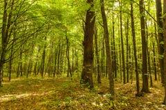 De herfst vergankelijk bos op een zonnige dag stock foto