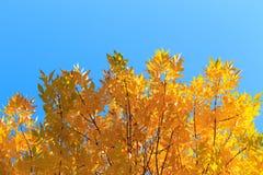 De herfst verlaat gele bomen stock fotografie