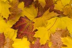 De herfst verlaat twee Royalty-vrije Stock Afbeeldingen