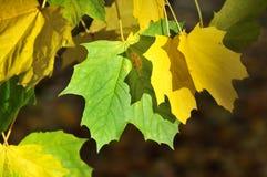 De herfst verlaat twee Stock Foto's