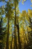 De herfst verlaat veranderend Colorado stock foto's