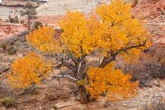 De herfst in Zion National Park Royalty-vrije Stock Foto's