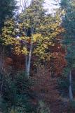 De herfst in zwart bos royalty-vrije stock foto