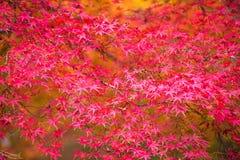 De herfstachtergrond, defocused lichtjes rode marplebladeren Stock Foto's