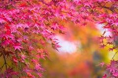 De herfstachtergrond, defocused lichtjes rode marplebladeren Stock Fotografie
