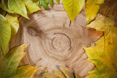 De herfstachtergrond: gele bladeren op een lariks van de cirkelzaagbesnoeiing Royalty-vrije Stock Afbeelding